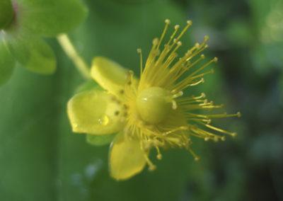 Orval. (Hypericum androsaemum)