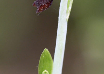 Abellera mosquera. (Ophrys insectifera)