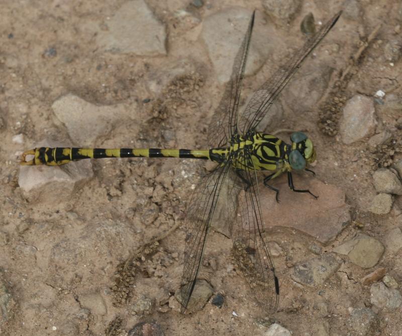 Tallanassos petit. (Onychogomphus forcipatus)